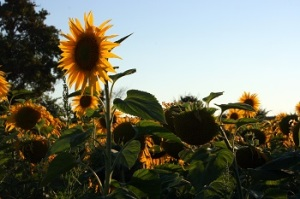 Sunflowers in Vanzay fields