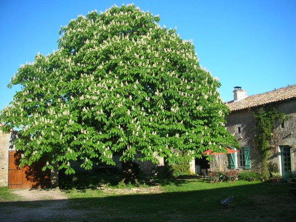 horse chestnut tree poitout-charentes gite holidays classic car hire France
