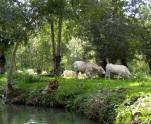 Marais Poitevin cows