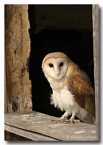 Barn Owls - roosting in the church belfry in numbers