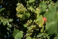 Sweet and tasty grapes