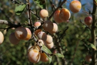 Mirabelles destined for jam and Indian pickle